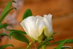 Strauchpfingstrose - Paeonia suffruticosa