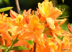 Azalea 'Golden Lights'