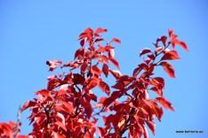 Prunus incisa 'Kojou-no-mai' | Japanische Zwerg-Zierkirsche