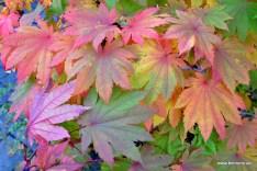 Acer japonicum 'Vitifolium' | Weinblättriger Ahorn