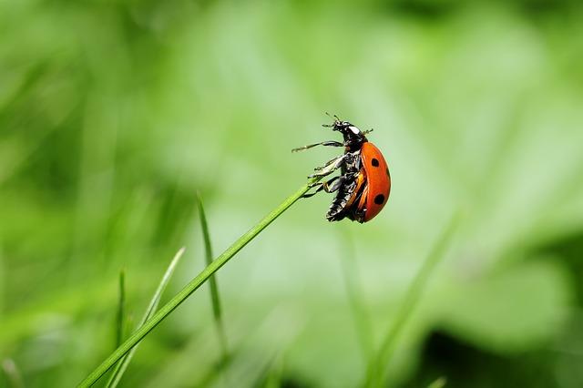 Ladybug on Reed