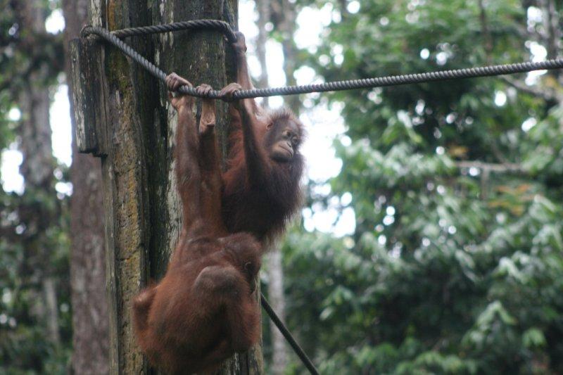 Orangutans Swinging from Ropes