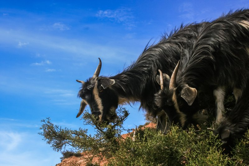 Mountain Goats, Black with white stripes on their heads and white horns