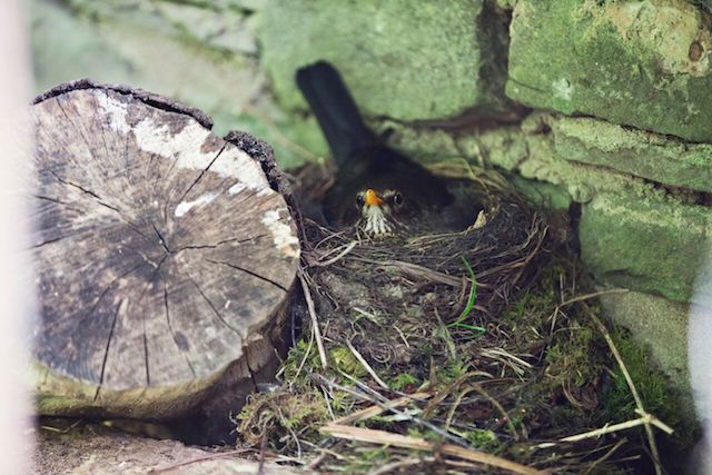 Blackbird sitting on eggs - immerse yourself in nature at the cottage