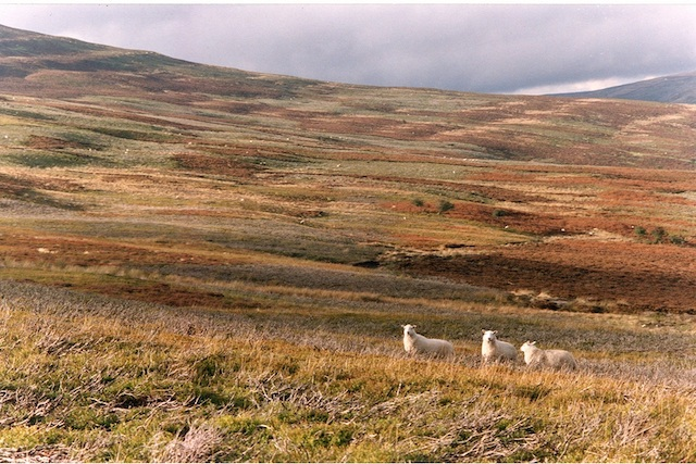 Three sheep on the hill in the Autumn, above Graig Ddu, the cottage in the forest
