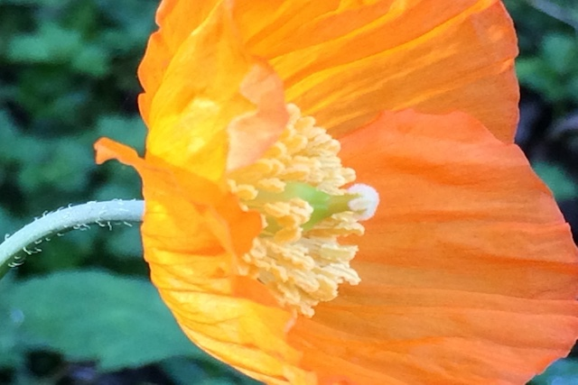 Orange and yellow Welsh poppies are scattered around the garden