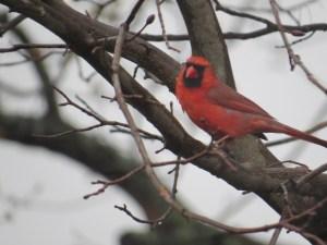 Choosing Joy [cardinal]