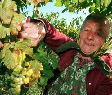 druivenplukken roemenie