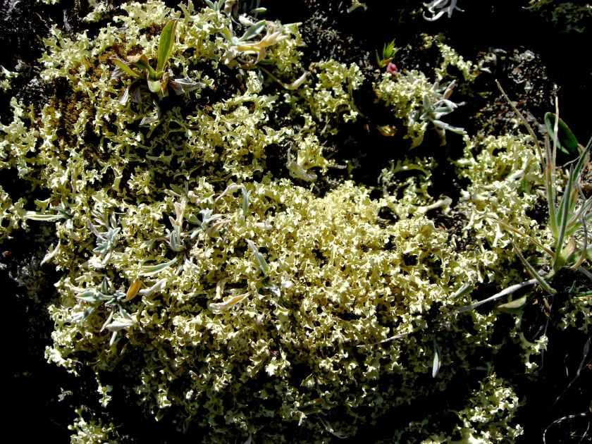 Mt Tiff - Flavocetraria cucullata