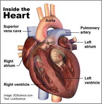 human_heart_graphic_03.jpg