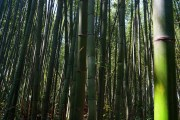 Bamboo Forest Photo copyright Rebecca Lau
