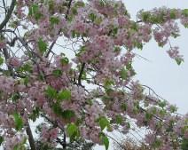 Cherry Blossom 2 Photo copyright Rebecca Lau