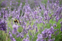 Bees and lavender Photo copyright Rebecca Lau