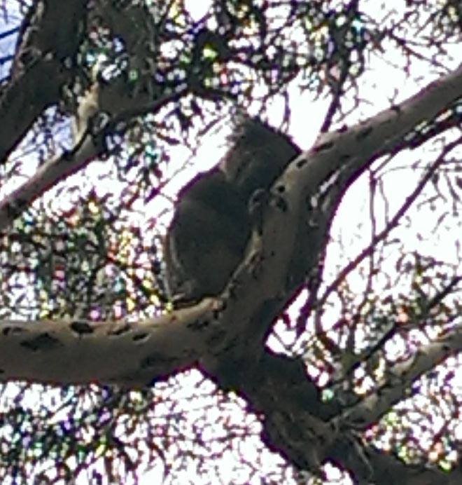 #Koalas #Morialta #South Australia 10 Photo Lessons - be kitschig blog Berlin