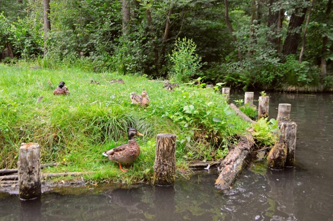 ducks Enten im Spreewald