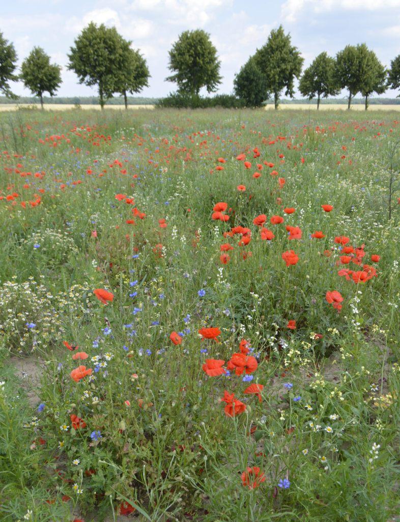 Poppy Meadow Brandenburg Travel bekitschig.blog