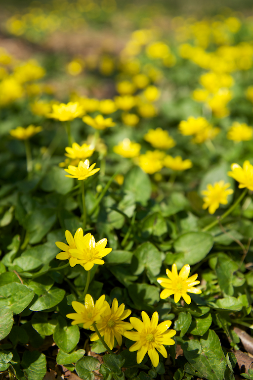 Yellow Wildflowers in early Spring