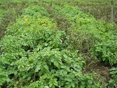 serangan tingkat lanjut Phytopthora Infestans pada tanaman kentang. sumber gambar : wikipedia.org