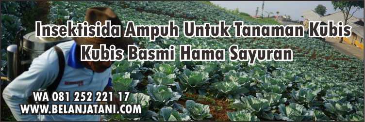 Sayur Kubis, Insektisida Ampuh Untuk Tanaman Kubis,Pertanian,Petani,Hama