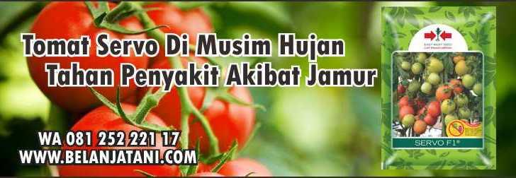 Tomat Servo Di Musim Hujan,Sayuran,Pertanian,Tanaman Tomat,Benih Hirbida
