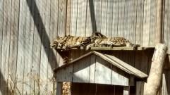 Sleeping cheetahs.