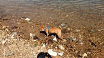 Kaiser frolicking at Beaver Lake