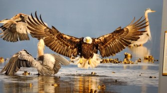 Bald Eagle and Great Blue Herons by Bonnie Block