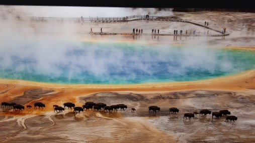 American Bison and Visitors at Grand Prismatic Spring by Beate Dalbec