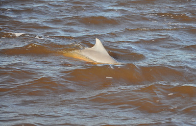 This dolphins are not like Flipper.  They surface whenever and wherever they choose.  Therefore, they are hard to photograph.