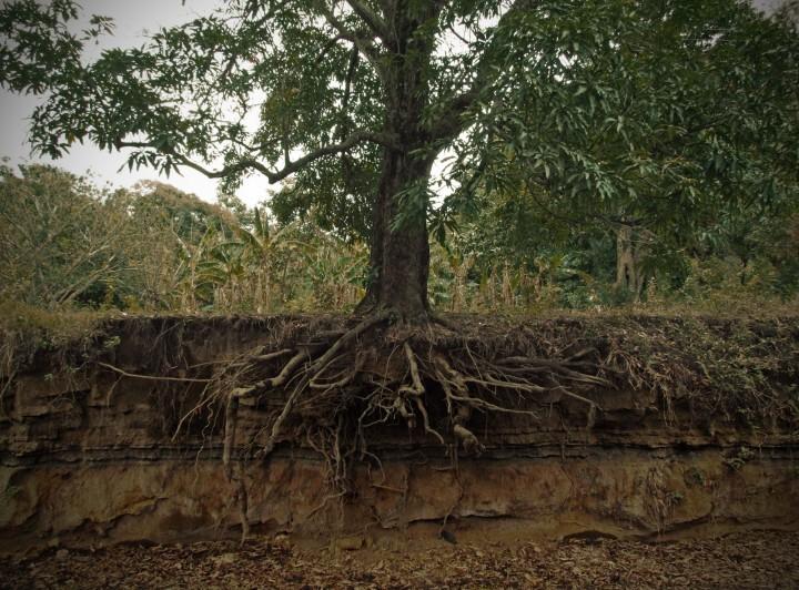 BB Treet roots