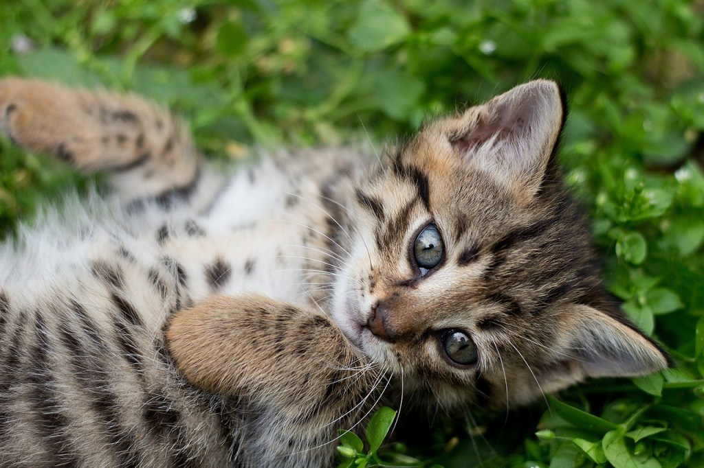 Image of tabby kitten rolling — a picture of adoption