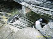 Antártico (Pinguins) (Oceanário de Lisboa)