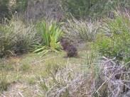 Wallaby (Scorpion Rock Lookout)