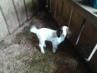 baby sheep (Agrodome)