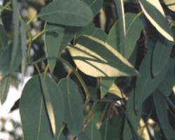 eucalyptus radiata leaves