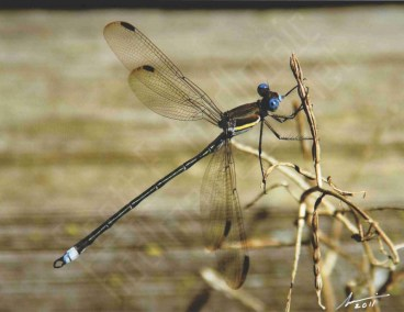 """Giant Spreadwing Damselfly"""