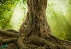 öreg fa nagy gyökérzettel