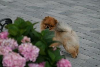 Bella klein´s Pomeranian Kennel-Hundepensjonat i Akershus for liten hund