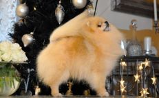 """Marko """"IR SE NO CH NW-12 Belliver Here For The Party"""" creme pomernanian fra Irland"""