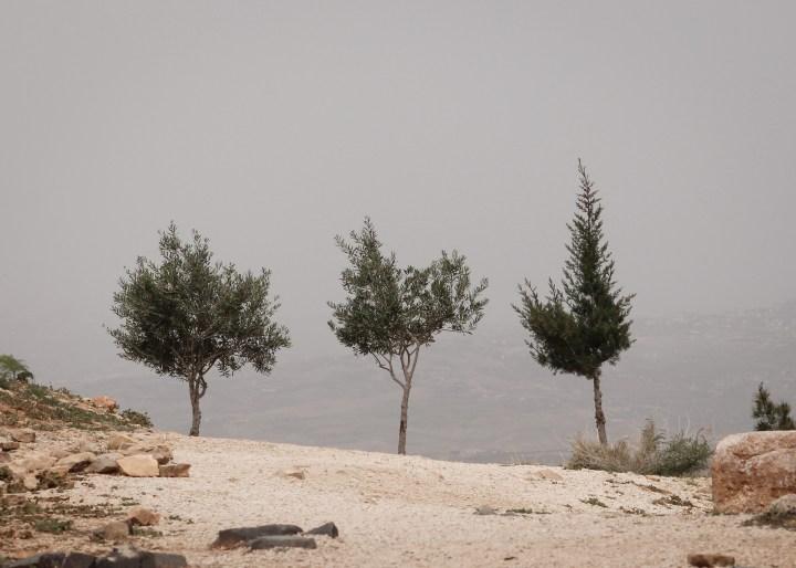 Mount Nebo Jordan Olive Trees
