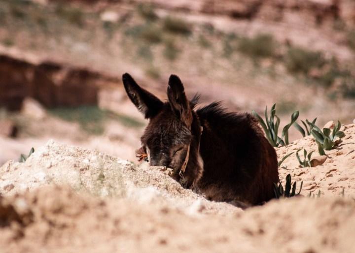 donkey petra