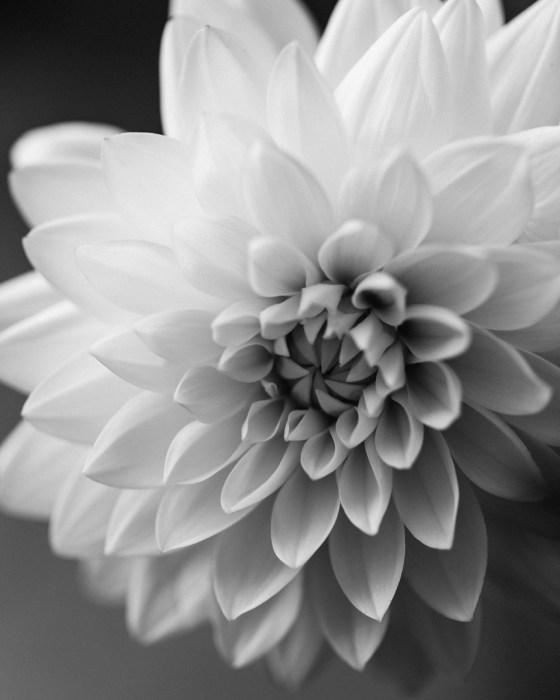 dahlia black and white