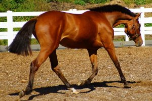Concerto, 2012 Selle Luxembourg filly, Bellamy Brook Stables Maple Ridge, BC