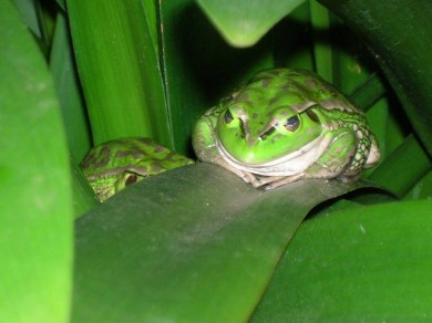 Growling Grass Frog. Photo by Mary Boothroyd