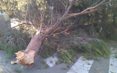 Cauen tres arbres a causa del fort vent a Cerdanyola