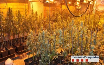 Desmantellades dues plantacions de marihuana a Bellaterra