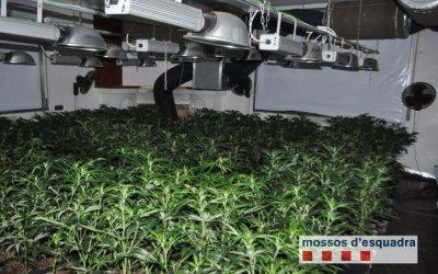 La gran plantació de marihuana es comptabilitza amb gairebé 2.000 plantes