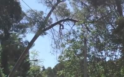 Dos arbres de grans dimensions, a punt de caure al carrer Mestre Nicolau