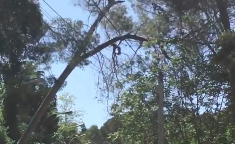 Un dels arbres sobre el carrer Mestre Nicolau