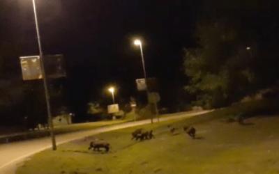 [VÍDEO] Una família de senglars enxampada a l'entrada de Bellaterra